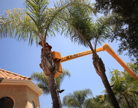 Palm Tree Removal-Jupiter-Tequesta Tree Trimming and Tree Removal Services-We Offer Tree Trimming Services, Tree Removal, Tree Pruning, Tree Cutting, Residential and Commercial Tree Trimming Services, Storm Damage, Emergency Tree Removal, Land Clearing, Tree Companies, Tree Care Service, Stump Grinding, and we're the Best Tree Trimming Company Near You Guaranteed!