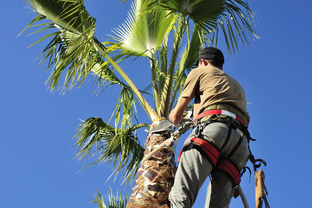 Palm Tree Trimming & Palm Tree Removal-Jupiter-Tequesta Tree Trimming and Tree Removal Services-We Offer Tree Trimming Services, Tree Removal, Tree Pruning, Tree Cutting, Residential and Commercial Tree Trimming Services, Storm Damage, Emergency Tree Removal, Land Clearing, Tree Companies, Tree Care Service, Stump Grinding, and we're the Best Tree Trimming Company Near You Guaranteed!