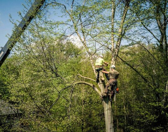 Tree Bracing & Tree Cabling-Jupiter-Tequesta Tree Trimming and Tree Removal Services-We Offer Tree Trimming Services, Tree Removal, Tree Pruning, Tree Cutting, Residential and Commercial Tree Trimming Services, Storm Damage, Emergency Tree Removal, Land Clearing, Tree Companies, Tree Care Service, Stump Grinding, and we're the Best Tree Trimming Company Near You Guaranteed!